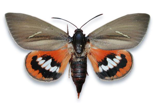 Mariposa Paysandisia archon